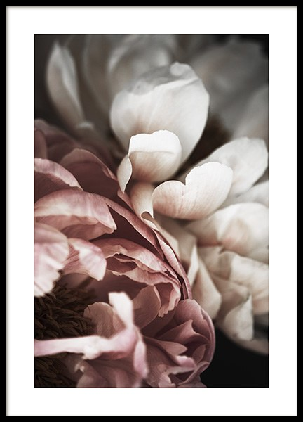 Pink and White Peony Poster in der Gruppe Poster / Botanik bei Desenio AB (10989)
