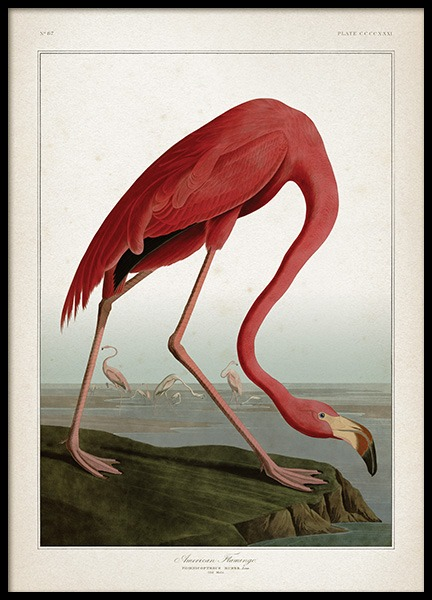 American Flamingo Poster in der Gruppe Poster / Tiere bei Desenio AB (12170)