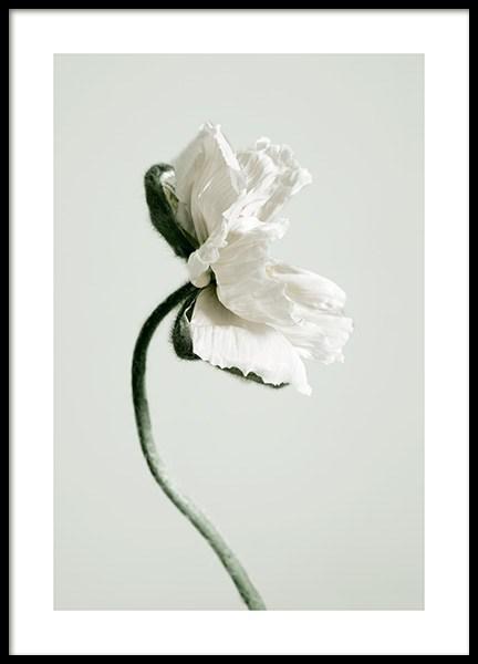 White Poppy Flower Poster