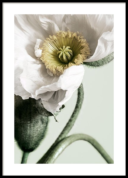 White Poppy Close Up Poster