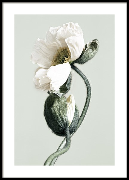 Blooming White Poppies Poster in der Gruppe Poster / Fotografien bei Desenio AB (12321)