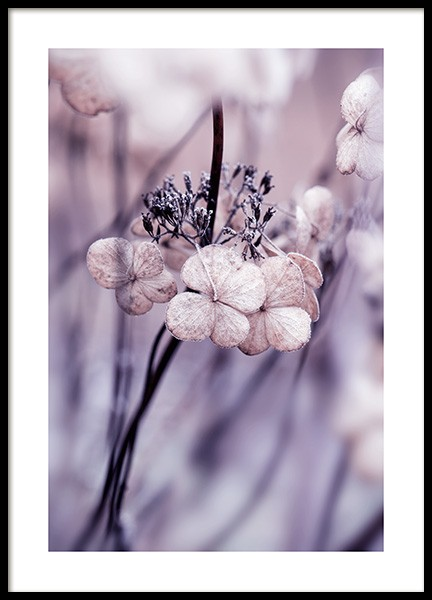Hydrangea Seed Heads Poster