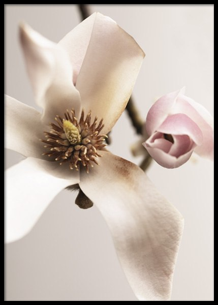 Magnolia Close Up No1 Poster in der Gruppe Poster / Botanik / Blumen bei Desenio AB (14733)