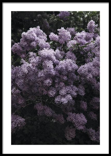 Flowering Syrene Poster