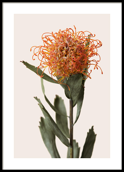 Orange Protea Poster
