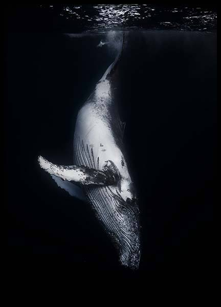 Whale 1 Poster in der Gruppe Poster / Tiere /  bei Desenio AB (2082)