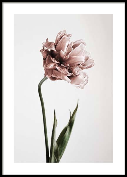 botanik poster mit rosa tulpe bei. Black Bedroom Furniture Sets. Home Design Ideas
