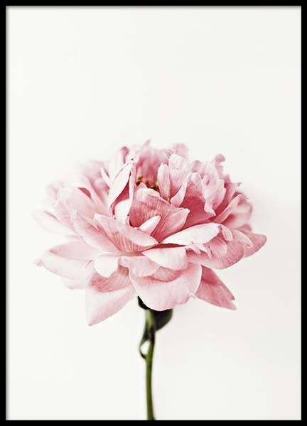 Pink Peony Poster in der Gruppe Poster / Fotografien bei Desenio AB (2291)