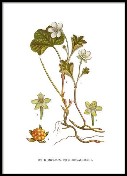 botanisches poster mit motiv aus dem lexikon nordens flora. Black Bedroom Furniture Sets. Home Design Ideas