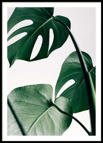 Monstera Three Poster in der Gruppe Poster / Fotografien bei Desenio AB (8722)