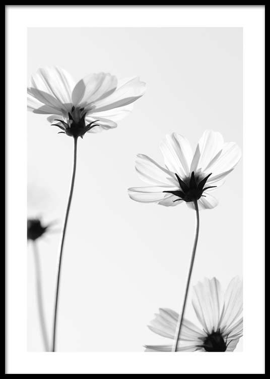 White Cosmos Flowers Poster