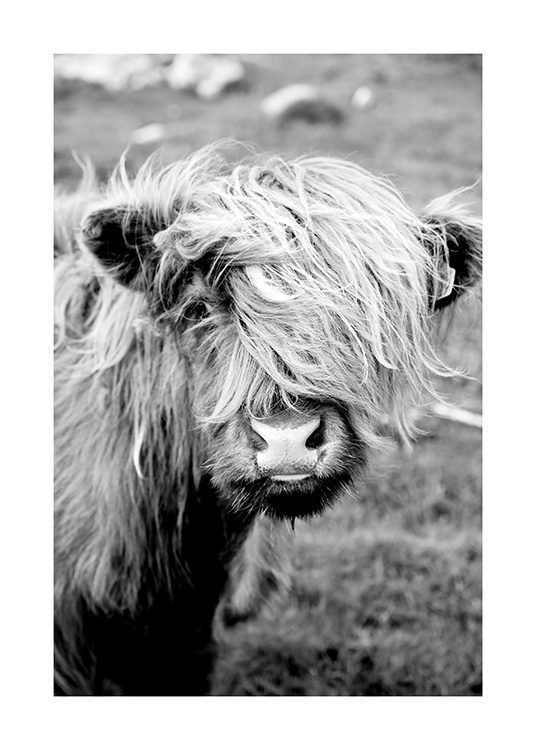 Portrait of Highland Cattle Poster / Tiere bei Desenio AB (11485)