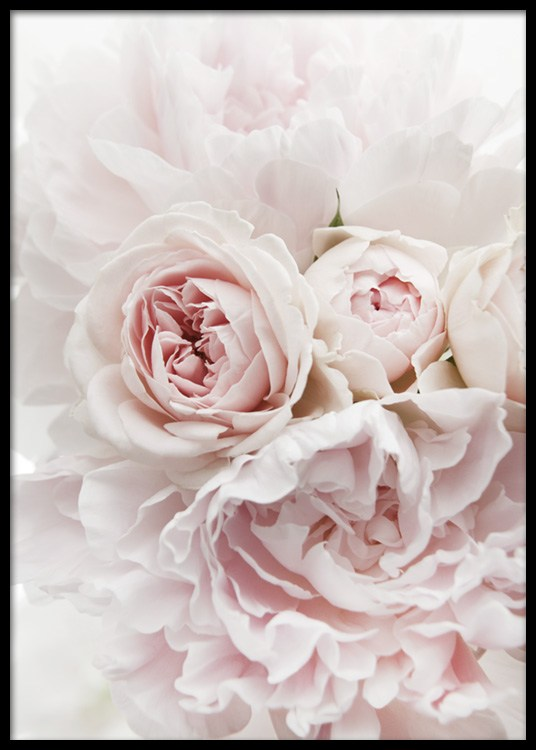 Peonies And Roses Poster
