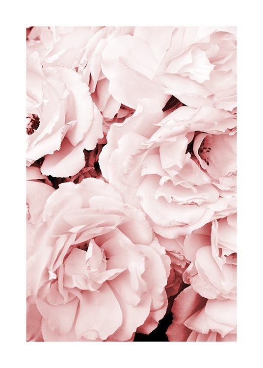 Close Up Pink Roses Poster / Fotografien bei Desenio AB (11793)