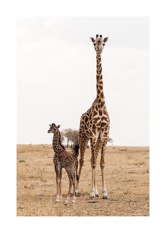 Mother and Baby Giraffe Poster / Fotografien bei Desenio AB (12578)